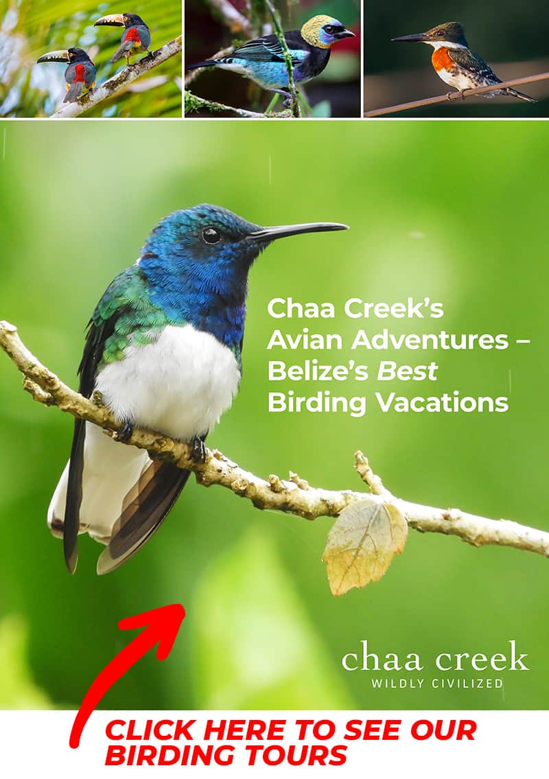 Chaa Creek Belize Birding Tours Cover