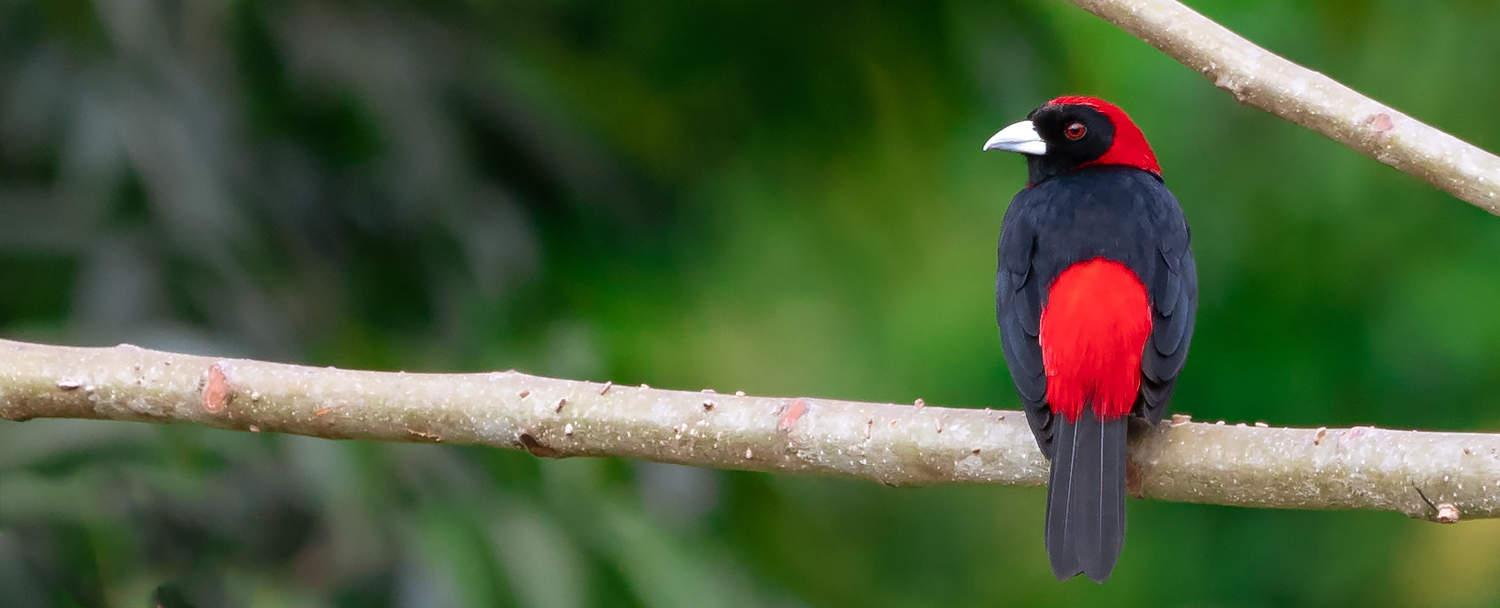 Belize Bird Watching Crimson collared tanager at Chaa creek