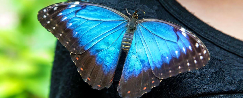 belize blue morpho sitting on guest shirt