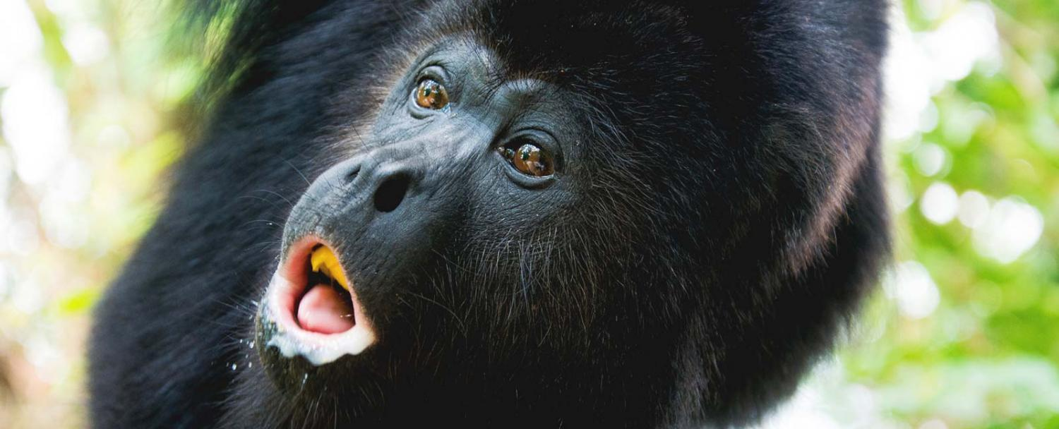 Belize howler monkey conservation at Chaa Creek