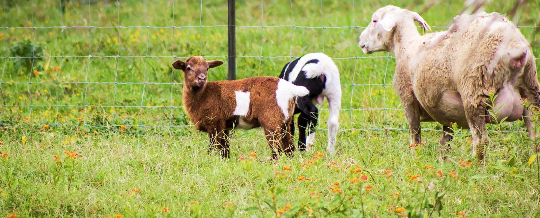 Sheeps at our Belize Maya Organic Farm at Chaa Creek