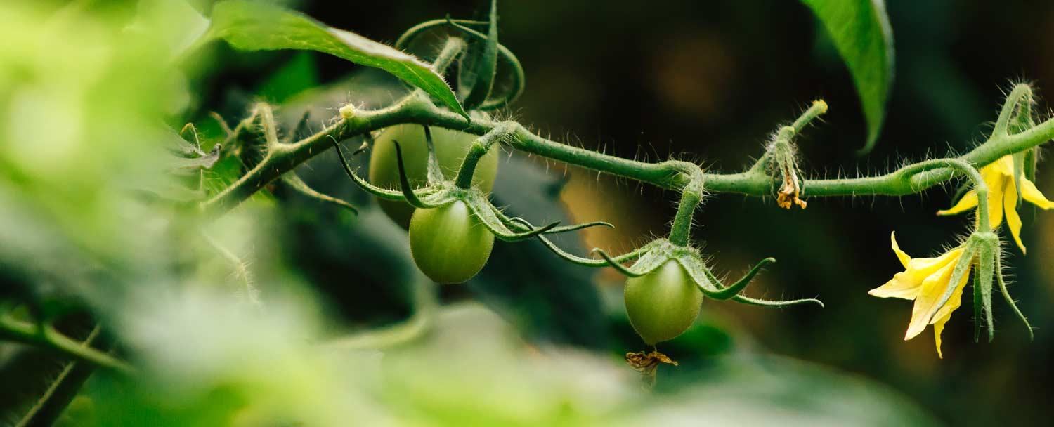 Tomatoes growing at our Belize Maya Organic Farm at Chaa Creek Resort