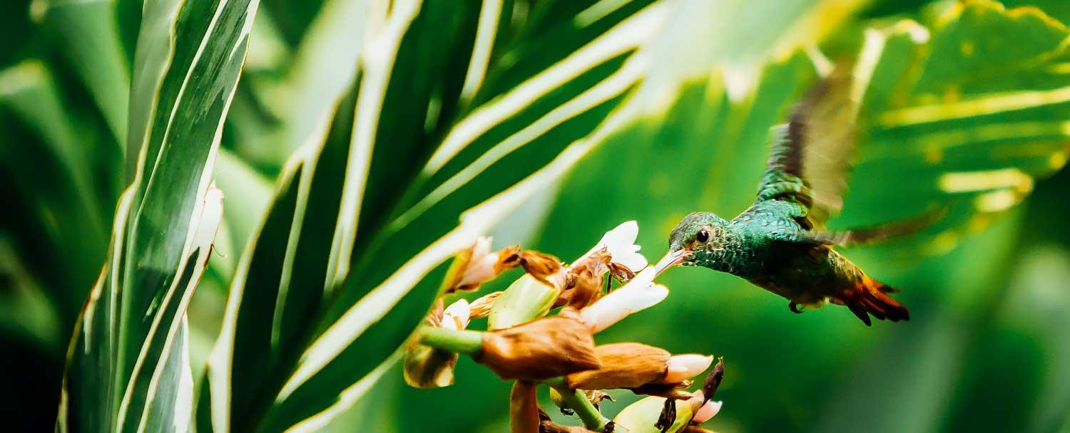 hummingbird feeding at our macal river camp inside chaa creek's private nature reserve