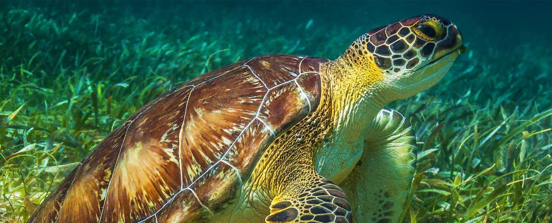 Loggerhead Turtle seen in Belize Snorkeling Tour by Chaa Creek Resort