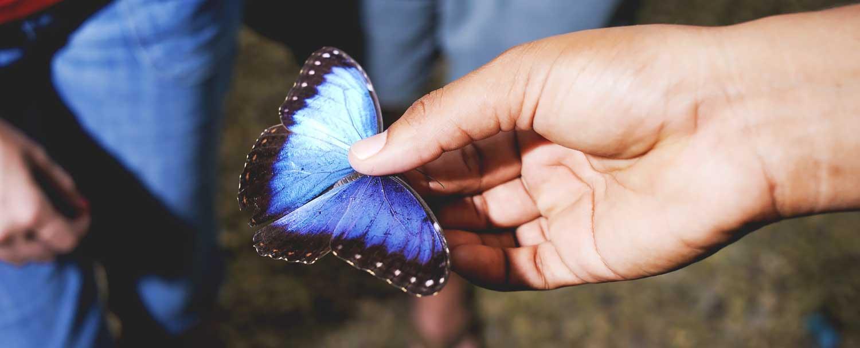 Belize Butterfly Farm Blue Morpho
