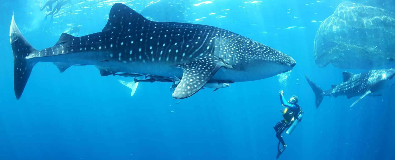 Belize Whaleshark Diving