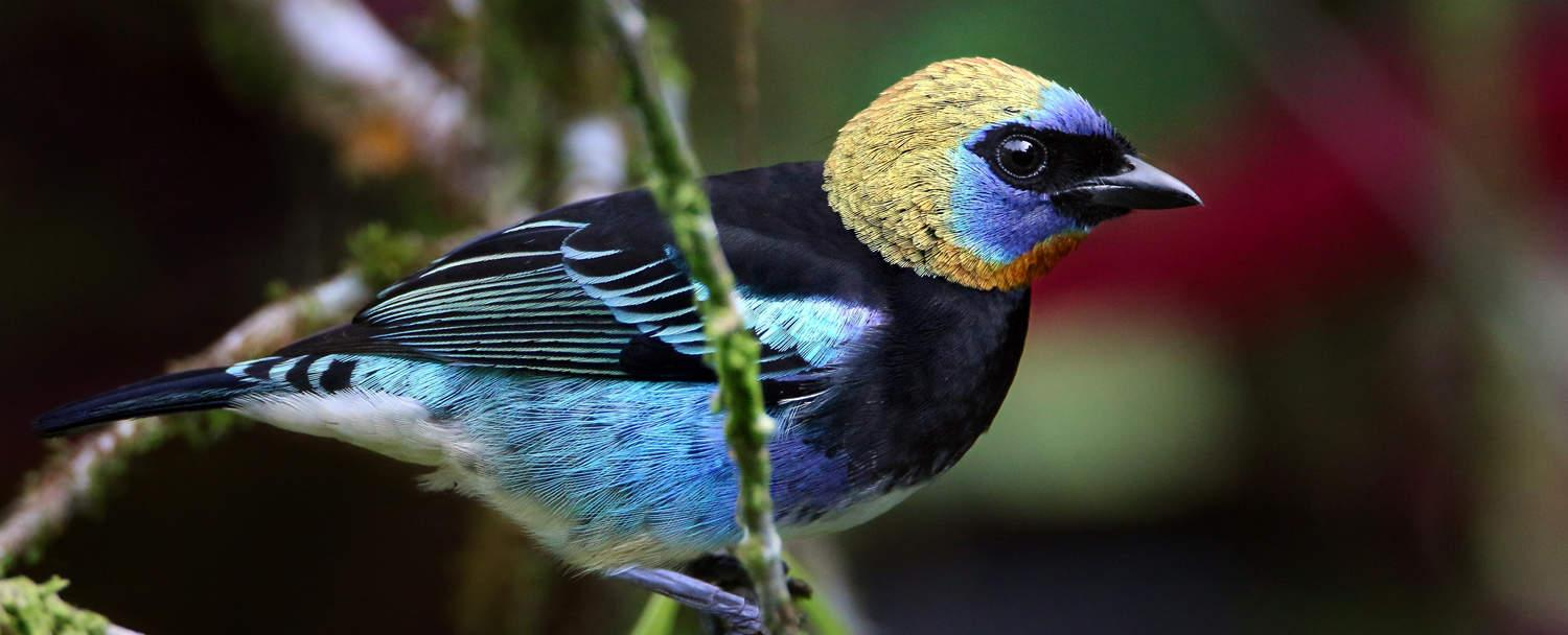 golden-hooded tanager Belize birds of Chaa creek