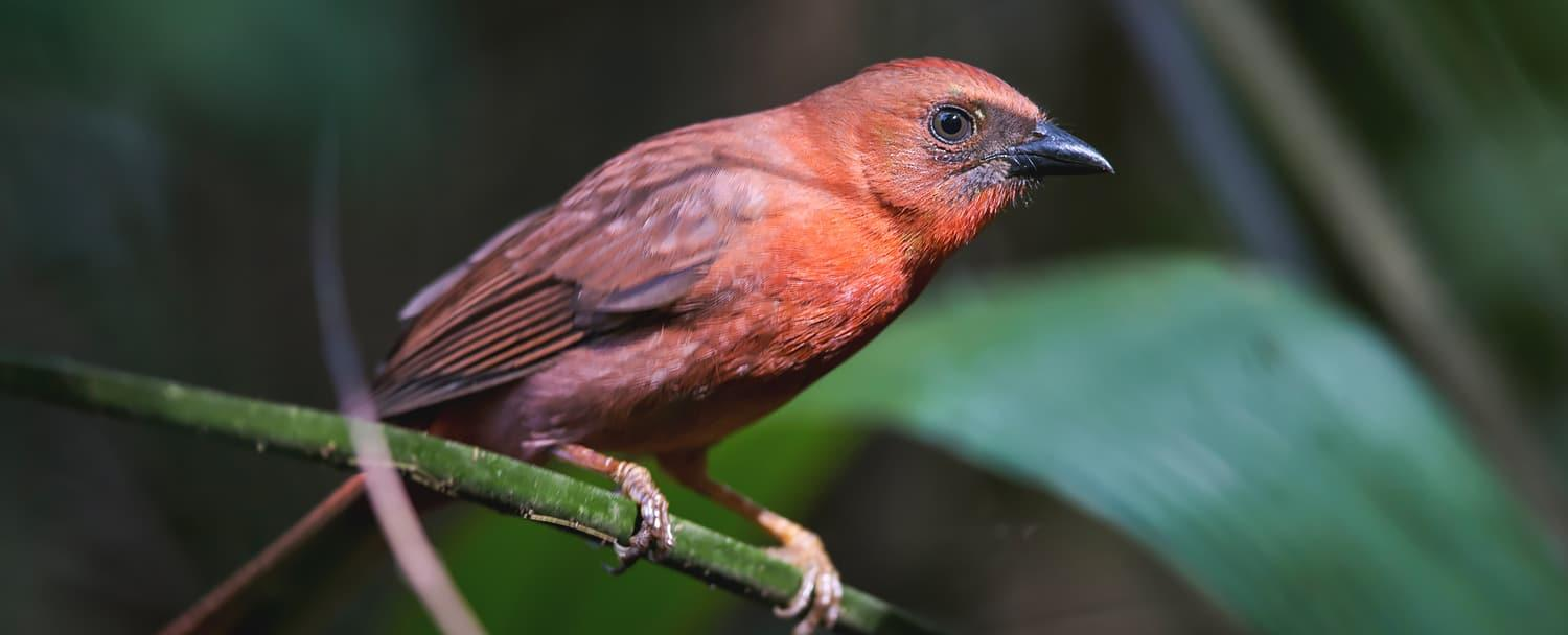 red-throated ant-tanager Belize birds of Chaa creek