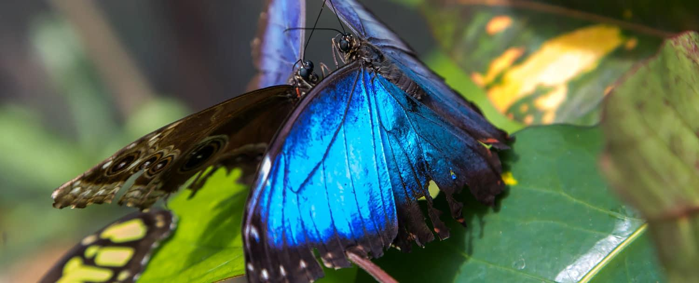 belize blue morpho butterflies mating
