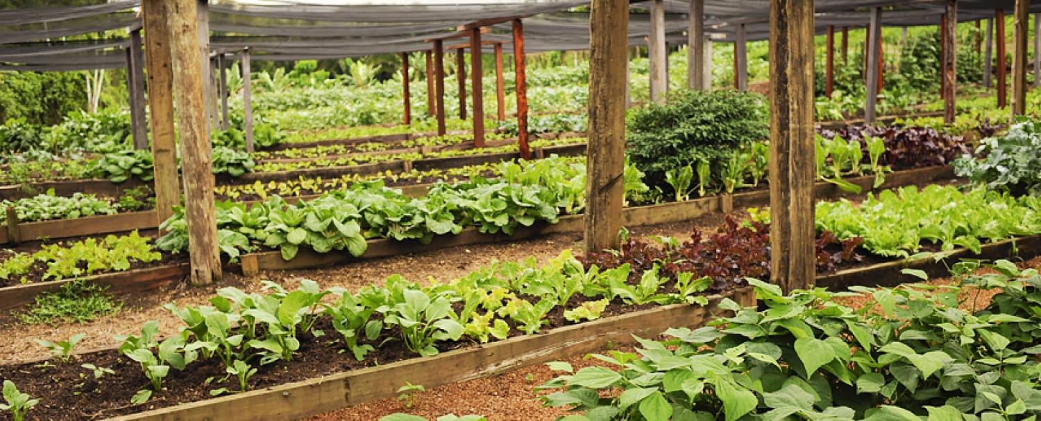Belize Maya Organic Farm Produce