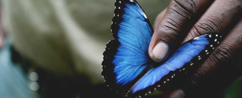 Blue Morpho Belize Butterfly Farm