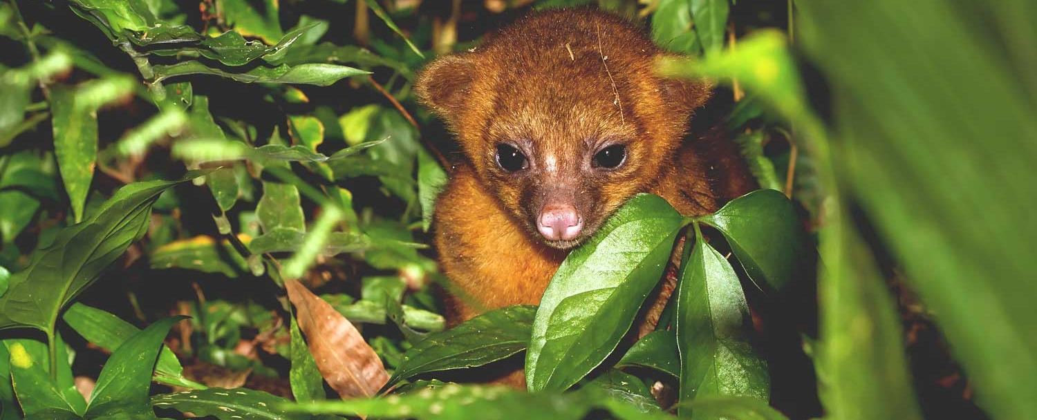 Creatures of the night kinkajou chaa creek