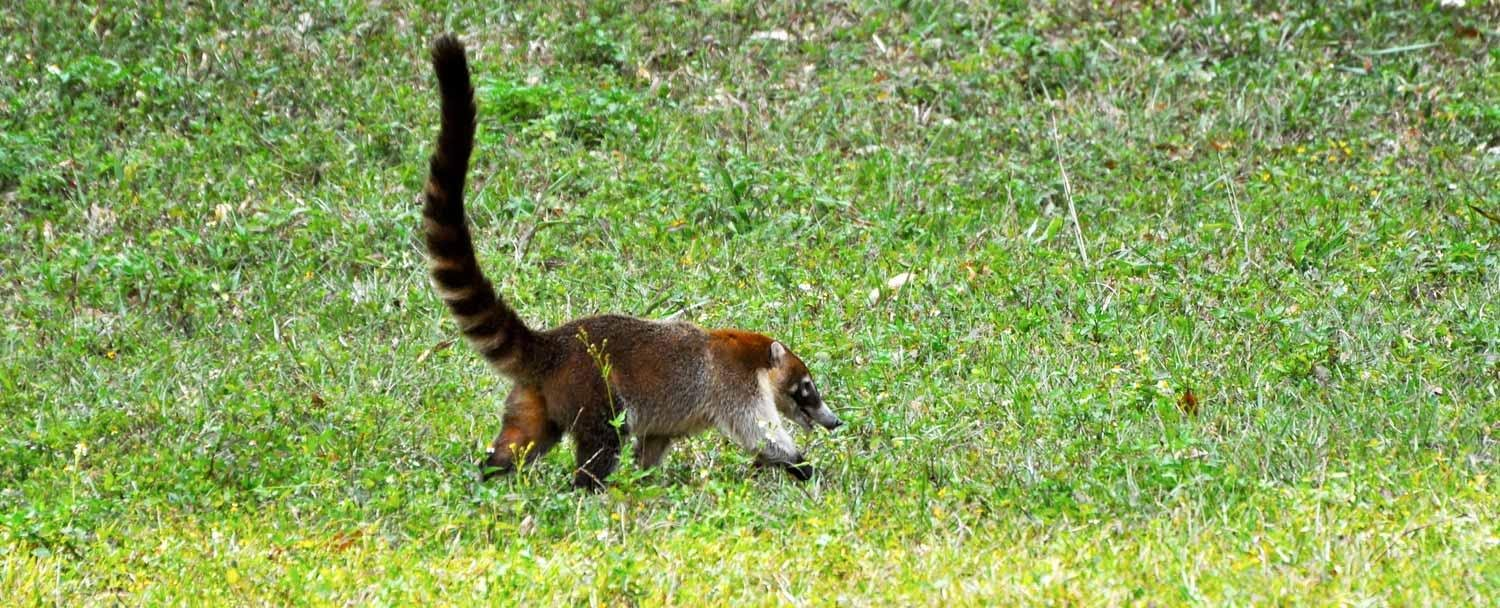 Tikal National Park and Mayan Ruins Animals by Chaa Creek Resort