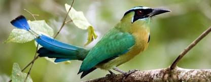 Birds of Belize adventure package at Chaa Creek Eco Lodge